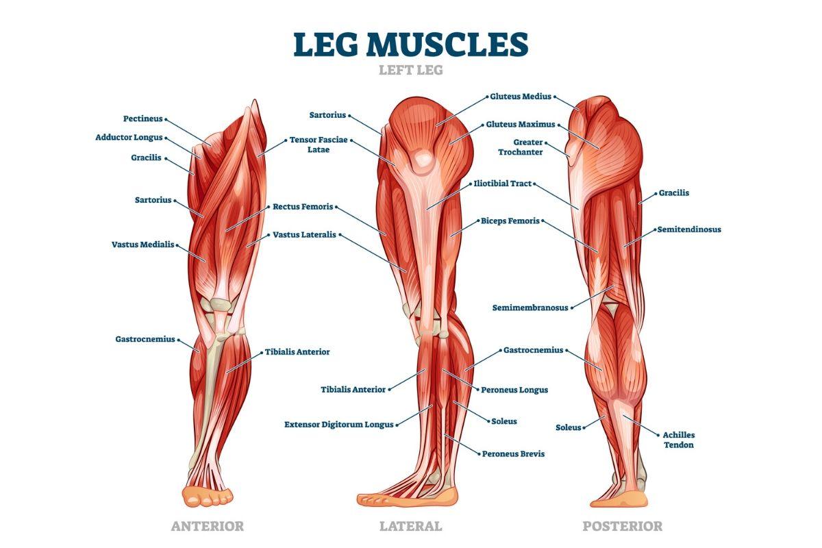 anatomía de los músculos de las piernas